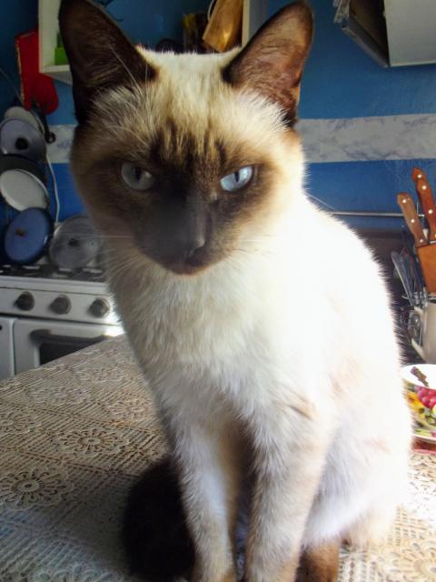 Le siamois aux yeux bleus